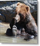 Grizzly Bear Licking His Paw While Seated In A Muddy River Metal Print