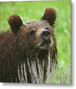 Grizzly Cub Metal Print