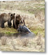 Grizzly Dinner Metal Print