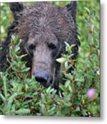 Grizzly In The Berry Bushes Metal Print