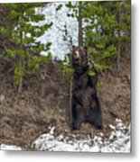 Grizzly Shaking A Tree Metal Print