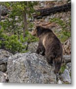 Grizzly Sow In Yellowstone Park Metal Print