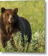 Grizzly Metal Print