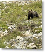 Grizzly Watching People Watching Grizzly No. 3 Metal Print