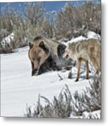 Grizzly With Coyote Metal Print