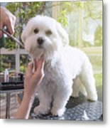 Grooming The Neck Of Adorable White Dog Metal Print