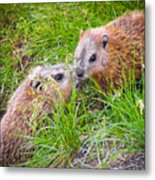 Groundhog Mother Love Metal Print