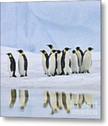 Group Of Emperor Penguins Metal Print