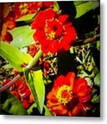 Group Of Small Red Zinnia's Metal Print