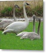 Group Of Young Swans Metal Print