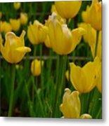 Grouping Of Yellow Tulips Metal Print
