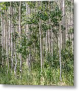Grove Of Quaking Aspen Aka Quakies Metal Print
