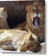 Growling Male Lion In Den With Two Females Metal Print