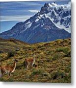 Guanacos In Patagonia Metal Print
