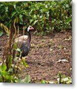 Guinea Fowl 1 Metal Print