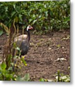 Guineahen Looking For Food Metal Print