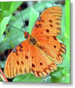 Gulf Fritillary Butterfly Cropped Metal Print