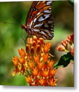 Gulf Fritillary On Butterflyweed Metal Print