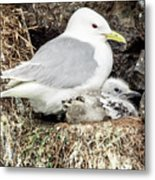 Gull Adult And Chick On Cliff Metal Print