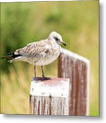 Gull On A Post Metal Print