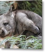 Hairy-nosed Wombat Metal Print