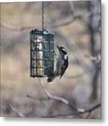 Hairy Woodpecker 1 Metal Print