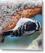 Hairy Woodpecker 2 Metal Print