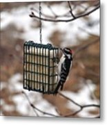 Hairy Woodpecker 2 Metal Print
