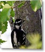 Downy Woodpecker 01 Metal Print