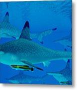 Hammerhead Sharks Metal Print