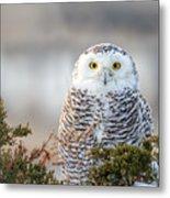 Hampton Beach Nh Snowy Owl Metal Print