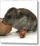 Hamster Eating A Walnut  Metal Print