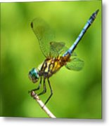 Handstand Dragonfly Metal Print by Karen Scovill