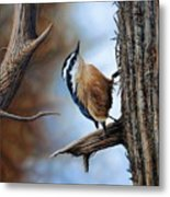 Hangin Out - Nuthatch Metal Print