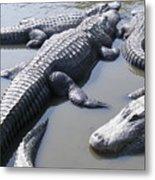 Hanging Out - Alligators North Myrtle Beach Metal Print