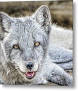 Happy Arctic Fox Metal Print