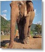 Happy Thai Elephant In Chiang Mai Metal Print