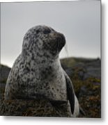 Harbor Seal In Stormy Weather Metal Print