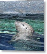 Harbor Seal Poking His Head Out Of The Water Metal Print