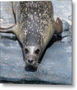 Harbor Seal Ready To Plunge Into The Water Metal Print