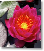 Hardy  Day Water Lily Metal Print