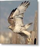Harlans Hawk Launch Metal Print