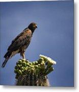 Harris Hawk Atop A Saguaro  Metal Print