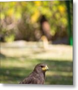 Harris Hawk Looking At Infinity Metal Print