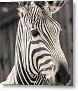 Hartmann's Mountain Zebra 2 Metal Print