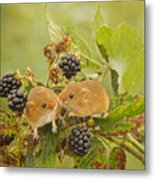 Harvest Mice On Blackberry Metal Print