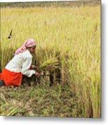 Harvesting Rice Metal Print