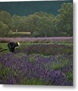 Harvesting The Lavender, Long Island Metal Print