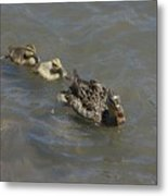 Having Your Duckies In A Row  Metal Print
