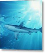 Hawaii Galapagos Shark Metal Print